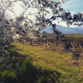 Camino del Norte - viñedo en primavera